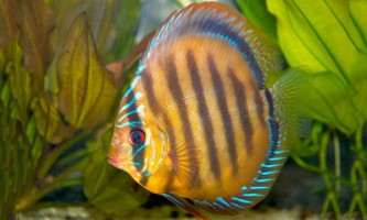 Discus brown